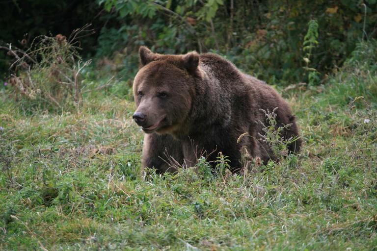 A brown bear in Piatra Craiului National Park