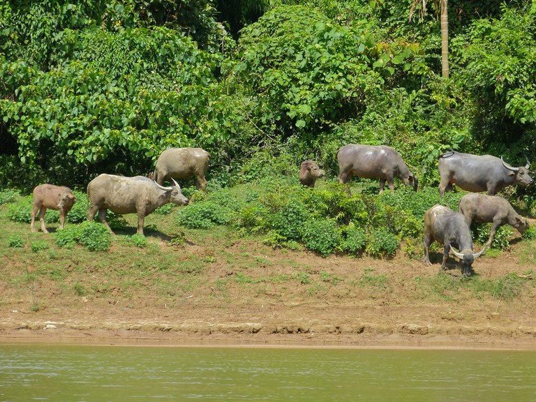 A herd of water buffaloes hanging around by the rivers in Taman Negara
