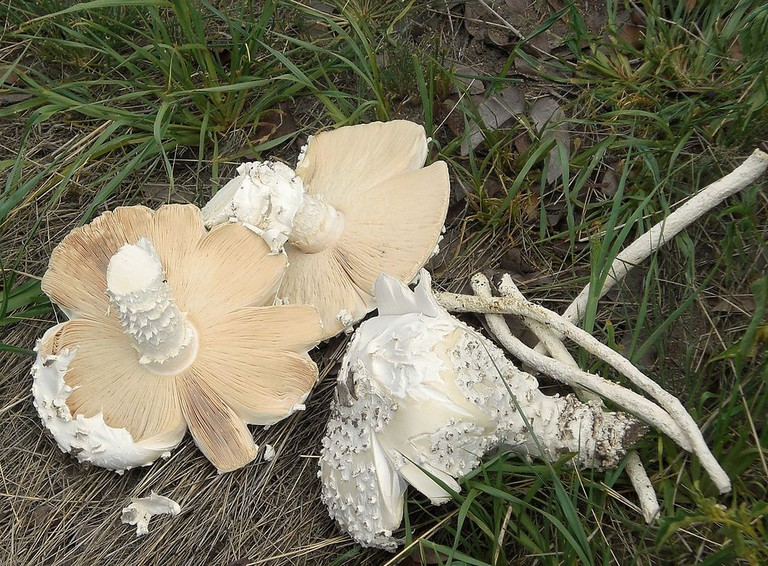 Wild omajowa mushrooms