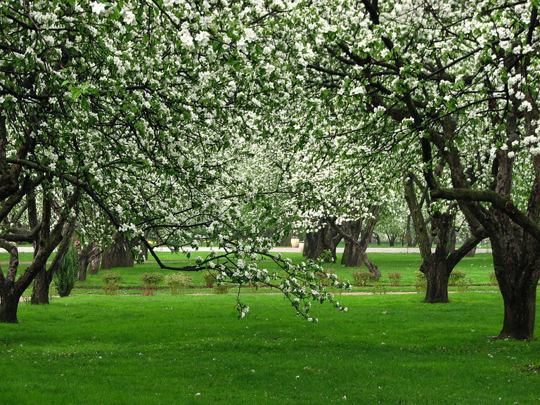 Apple orchards in Kolomenskoye (Moscow)