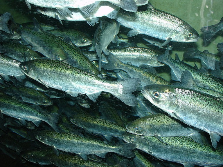 https://commons.wikimedia.org/wiki/File:Chinook_salmon,_Oncorhynchus_tshawytscha.jpg