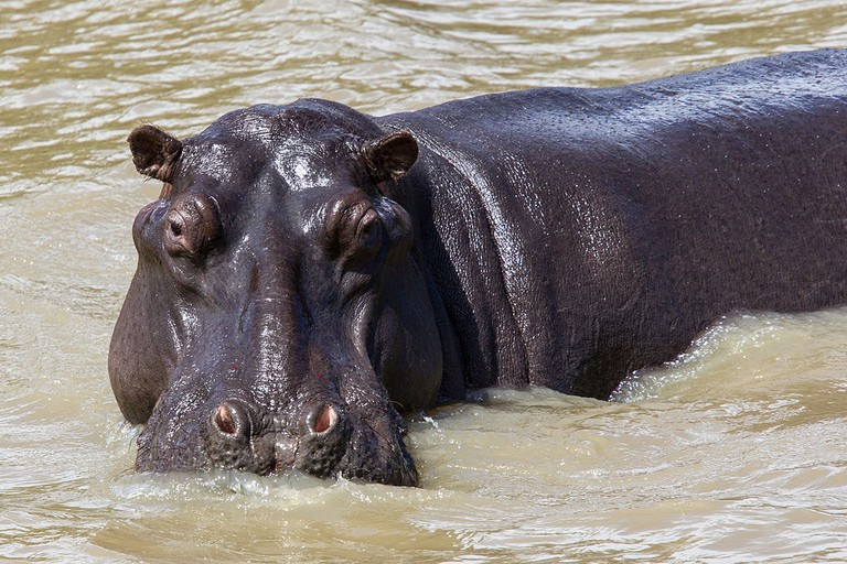 Hippo of St Lucia, South Africa