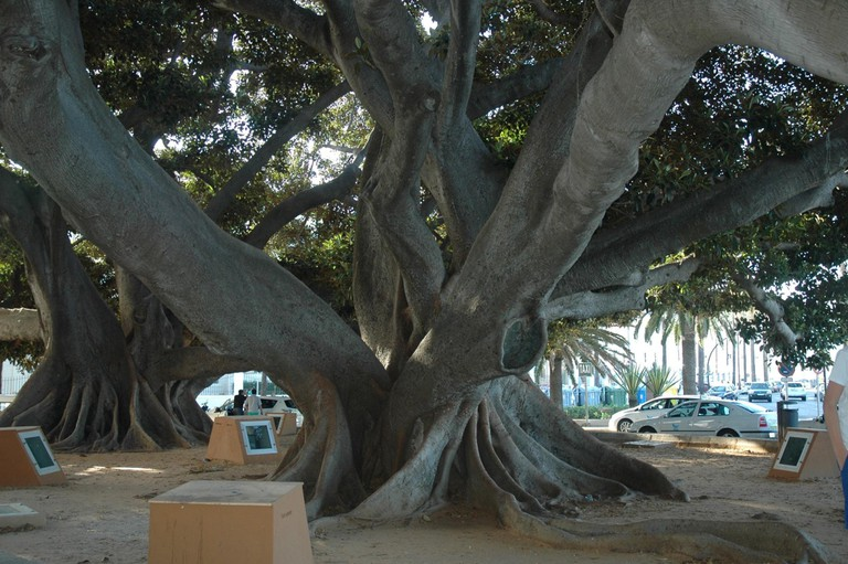 One of Cádiz's enormous old rubber trees