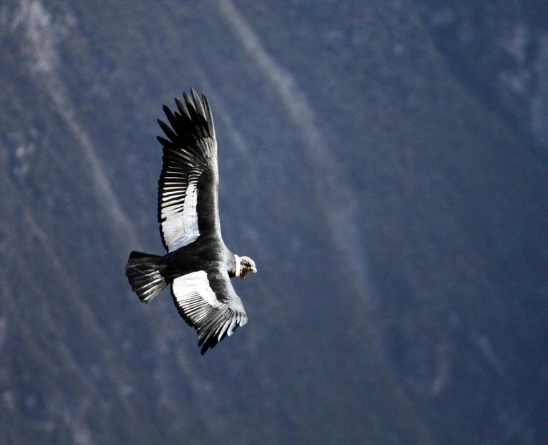 There's nothing like seeing an andean condor in flight