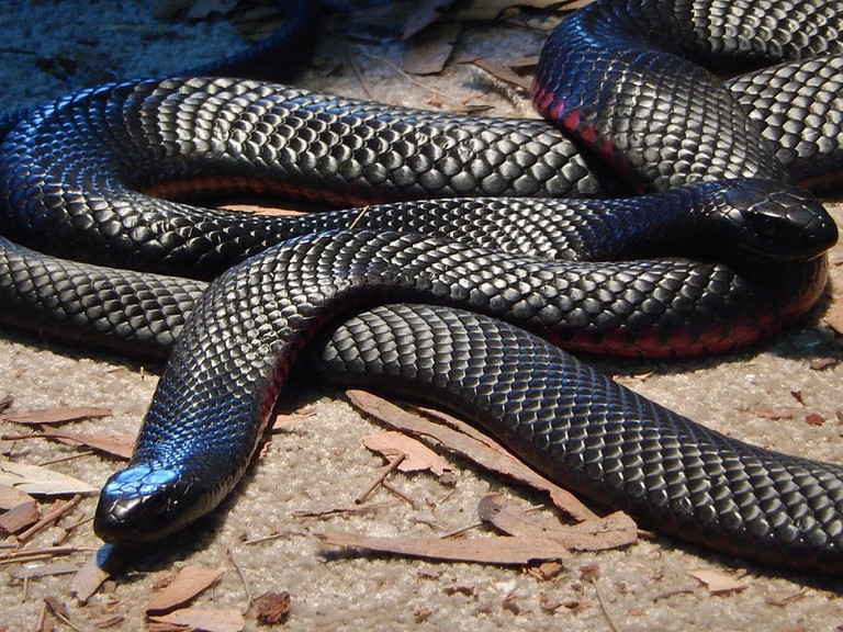 Red Bellied Black Snakes