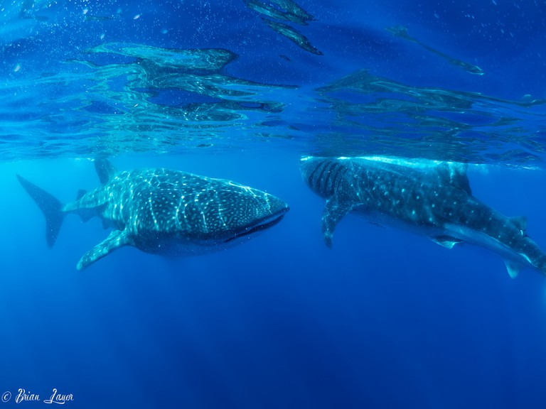 Whale sharks at Isla Mujeres, near Cancun, Mexico