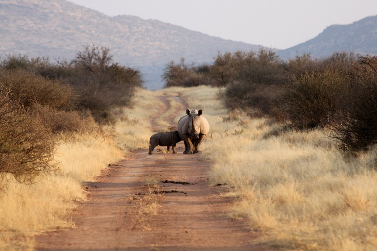 rhino with her calf