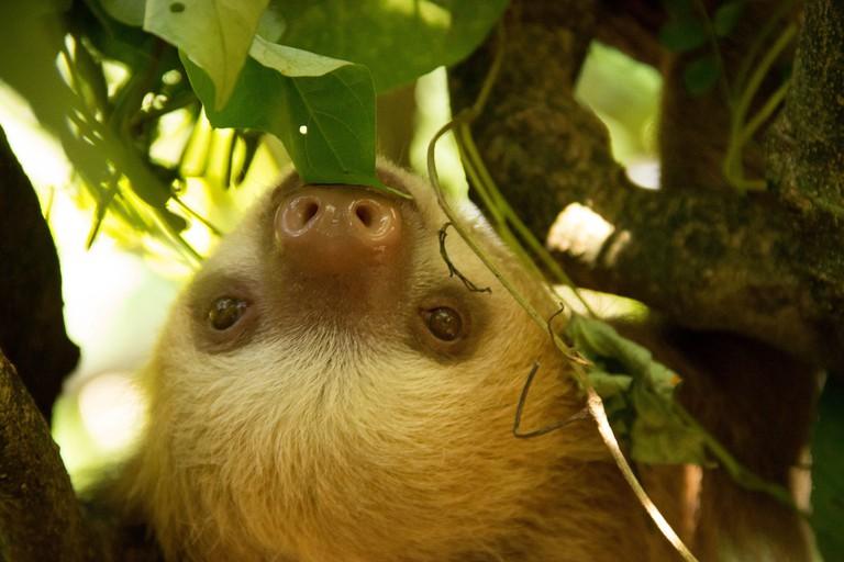 Sloth, Puerto Viejo, Costa Rica