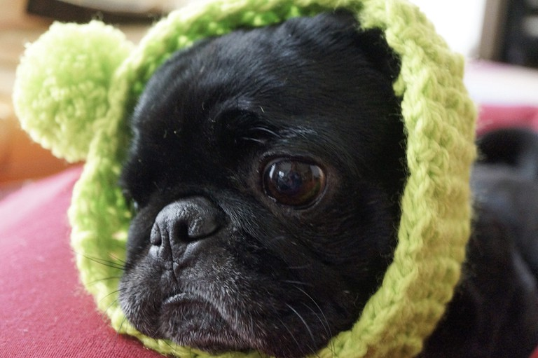 The ugly, yet cute pug is highly popular in Japan