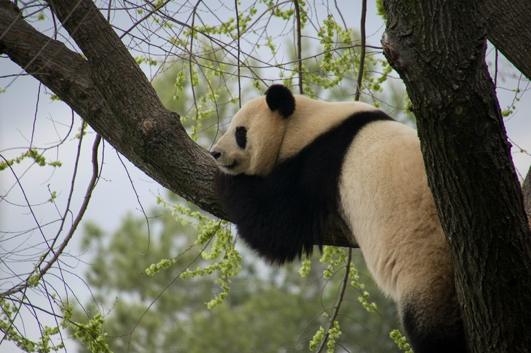 A giant panda in Madrid Zoo