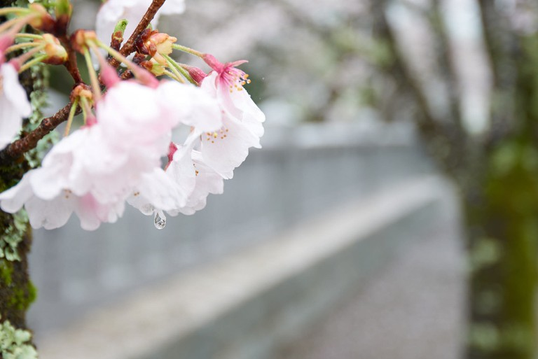 Cherry blossoms, damp and shrouded in mist