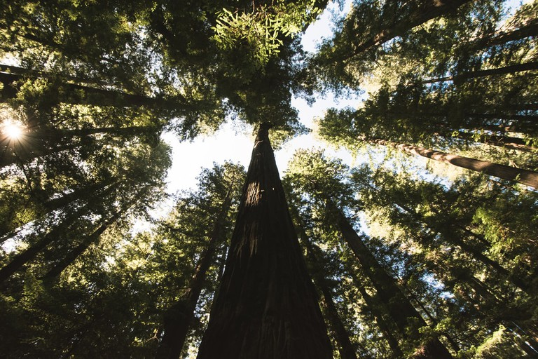 California's famous Redwoods