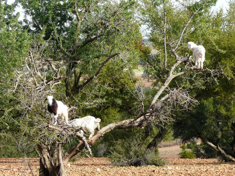 Morocco's goats