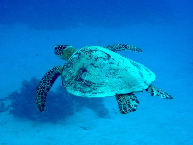 Giant Turtle, the Great Barrier Reef