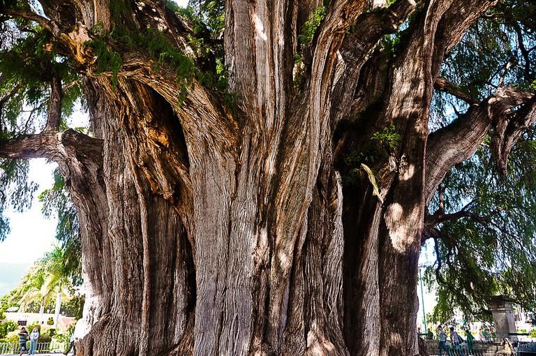 Tule Tree │