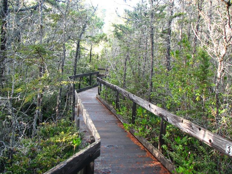Boardwalk path through the Pygmy forest, Van Damme State Park Ι