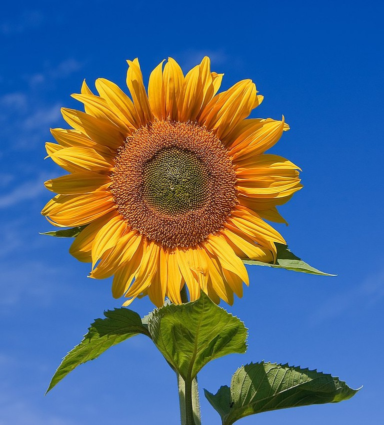 800px-Sunflower_sky_backdrop