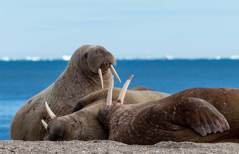 Walrus and friends | © Smudge 9000 / Flickr