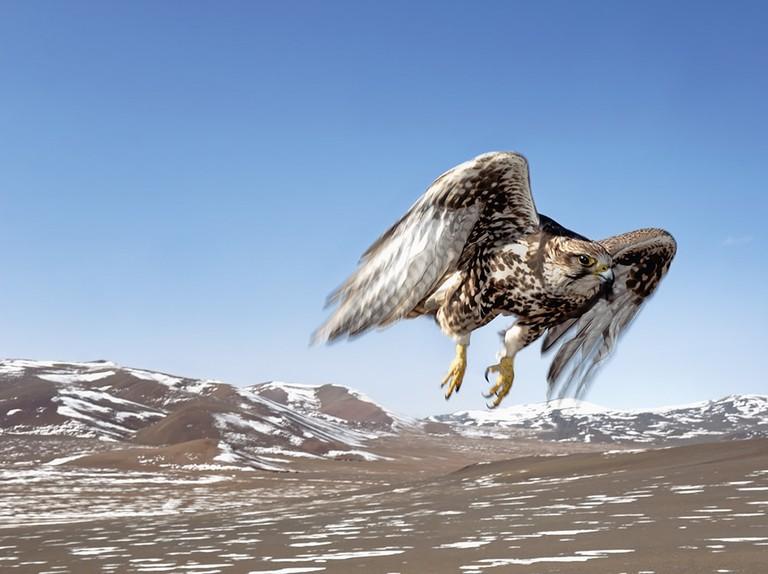 Saker falcon study. Photo © 2016 Hamid Sardar. All rights reserved. hamidsardarphoto.com