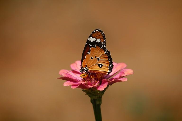 african-monarch-2871061_1280