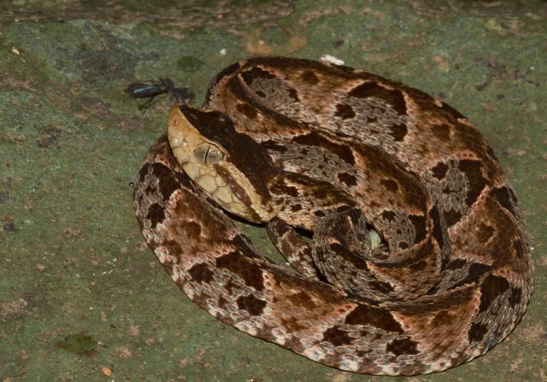 The deadly Bothrops asper snake is common on Gorgona