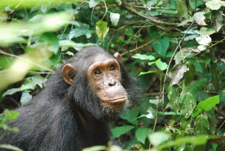 Chimpanzee in Gombe Steam National Park | © Roland / Flickr