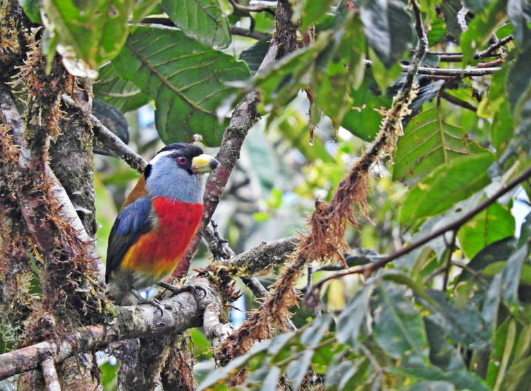 A toucan barbet at La Planada Reserve