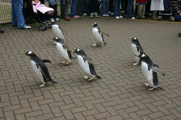 Edinburgh penguins go for a walk   © Tom Page / WikiCommons