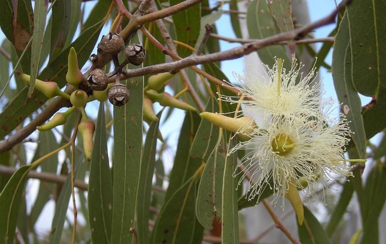 Eucalyptus Buds and Flowers