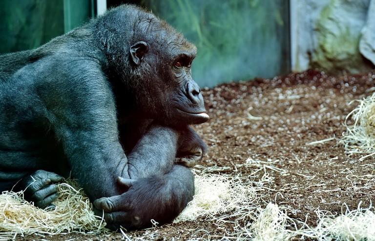 gorilla-2871369_1280