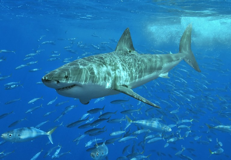 Great white shark in South Australia | © Terry Goss:Wikimedia Commons