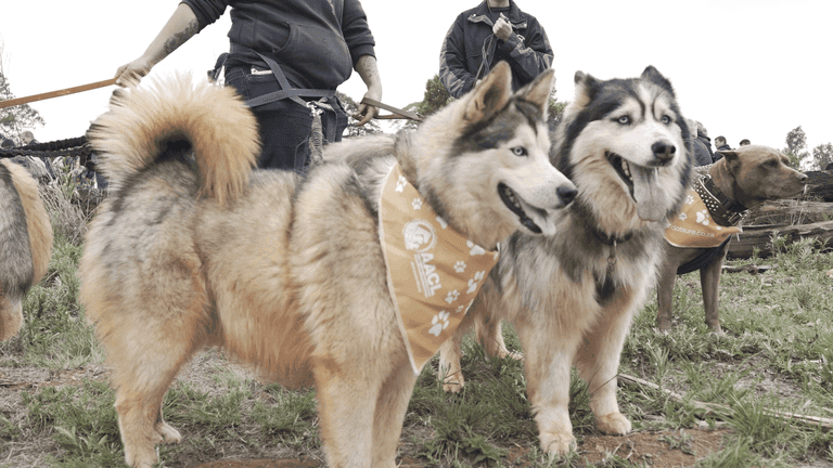 Guiness World Record South Africa_husky