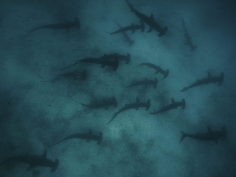 Whole lot of hammerheads