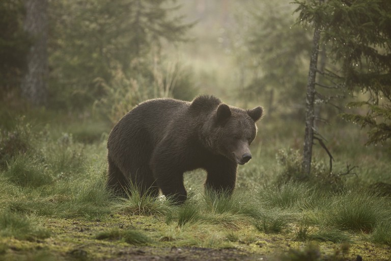 håkan_vargas_s-brown_bear-2338