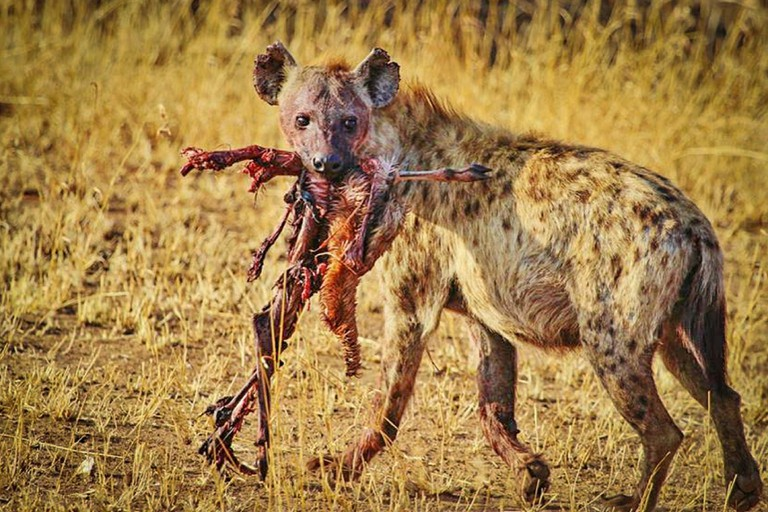 The dead are left to scavengers such as hyena