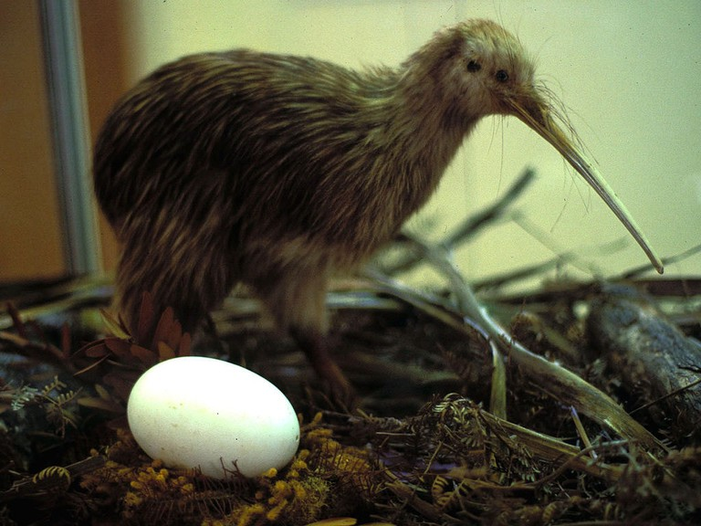 Kiwi bird | © Hans Grobbe_Wikimedia Commons