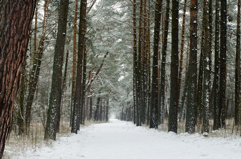 Lithuanian forest during the winter