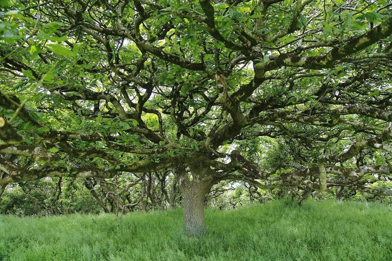 Marvel at ancient oaks