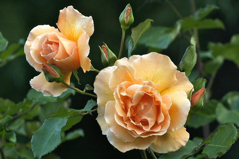 rose-2913070_1920