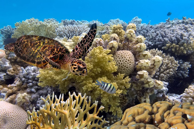 Green turtle, the Great Barrier Reef