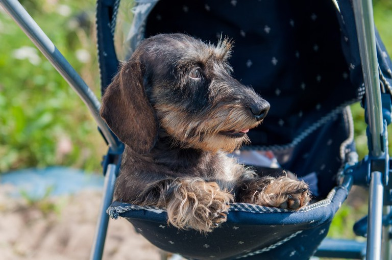 It's very common to see dogs and cats being pushed in glamorous prams
