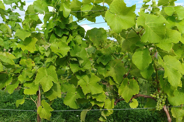 Grapes on the vine in Skåne, southern Sweden