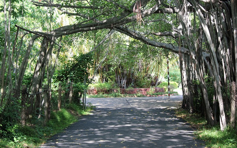 A road through the 450-year-old Banyan Tree's roots in Theosophical Society, Chennai