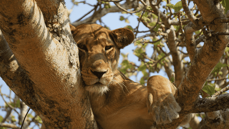 A lioness resting in a tree