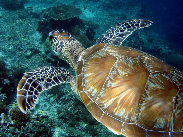 Turtles at Sipada Island
