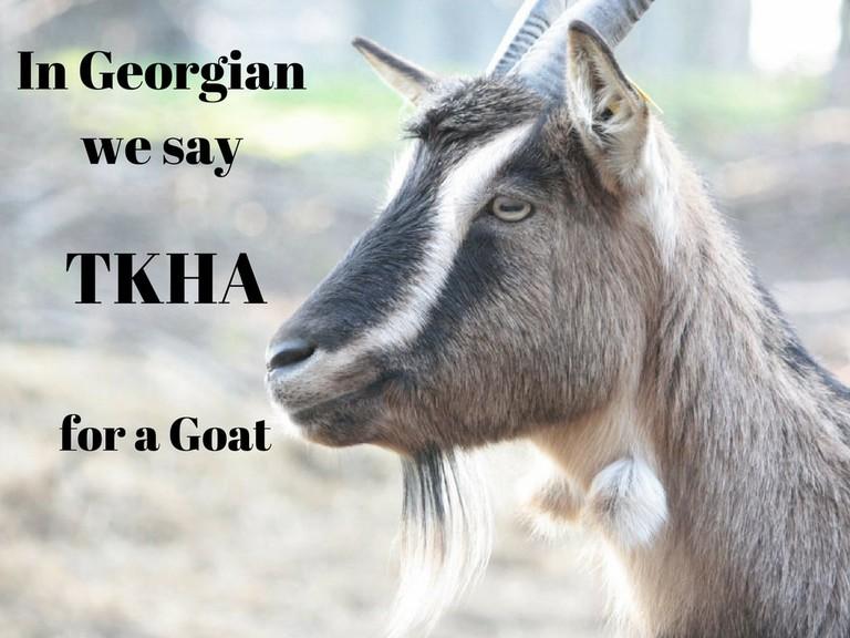 Tkha – Goat