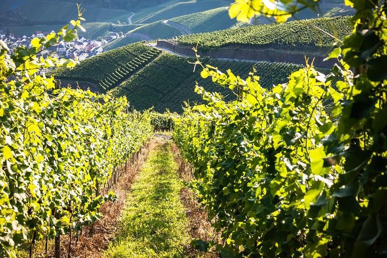vines-928523_960_720