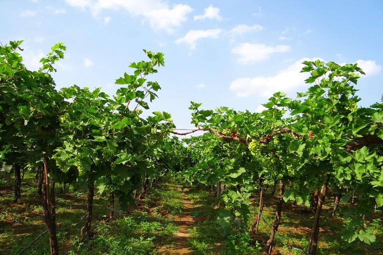 vineyard-223464_1920 (1)