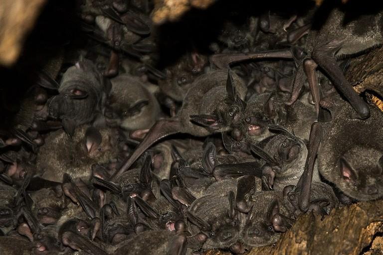 1024px-Southern_short-tailed_bats,_Mystacina_tuberculata