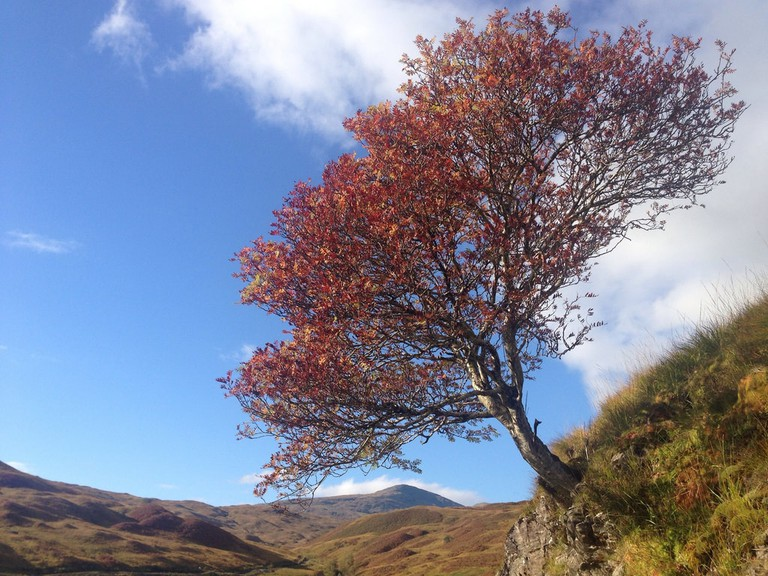 Rowan Tree | © John Johnston / Flickr